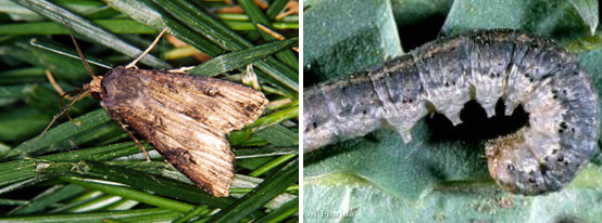 Photo of black cutworm moth and its' larvae