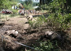 Photo of Willow-Witt Ranch pigs