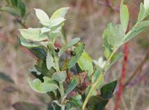 Photo of blueberry leaf beetle feeding on young shoots on organic rabbiteye blueberries.