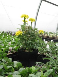 Photo of marigold guardian plant in the greenhouse