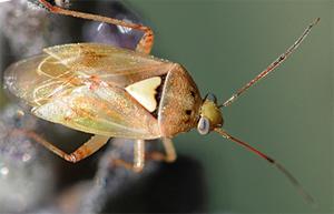 Photo of a lygus bug.