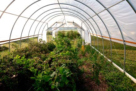 Photo of A view of blackberry and raspberry crops under cover and the high tunnel configuration.